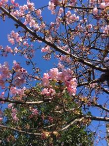 Bientôt la folie des cerisiers en fleurs !