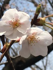 La fleur de cerisier