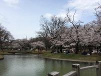 Pendant la floraison des cerisiers