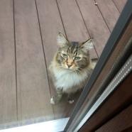 À force de nourrir ce chat , j'en ai maintenant 4 ou 5 qui viennent ... On a même eu un blaireau l'année dernière et un raton laveur ( heureusement devant témoin , je ne suis pas seule à l'avoir vu !)