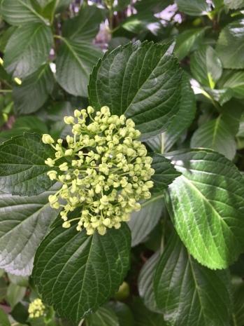 Mon hortensia va bientôt fleurir