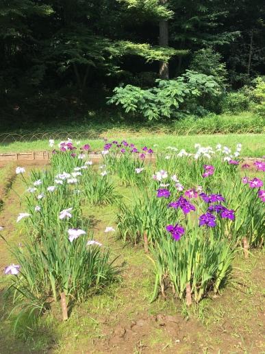 On a profité des iris du jardin du Meiji-jingu