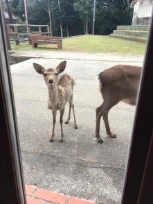 Le petit faon vient nous rendre visite pour le petit déjeuner